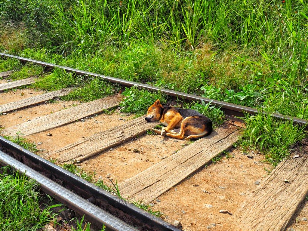 Sri Lankan dogs