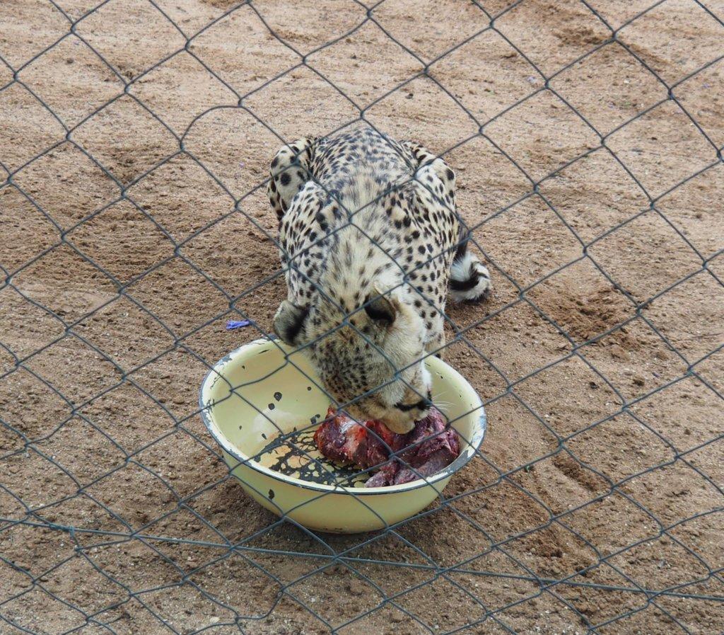 Cheetah Conservation Park