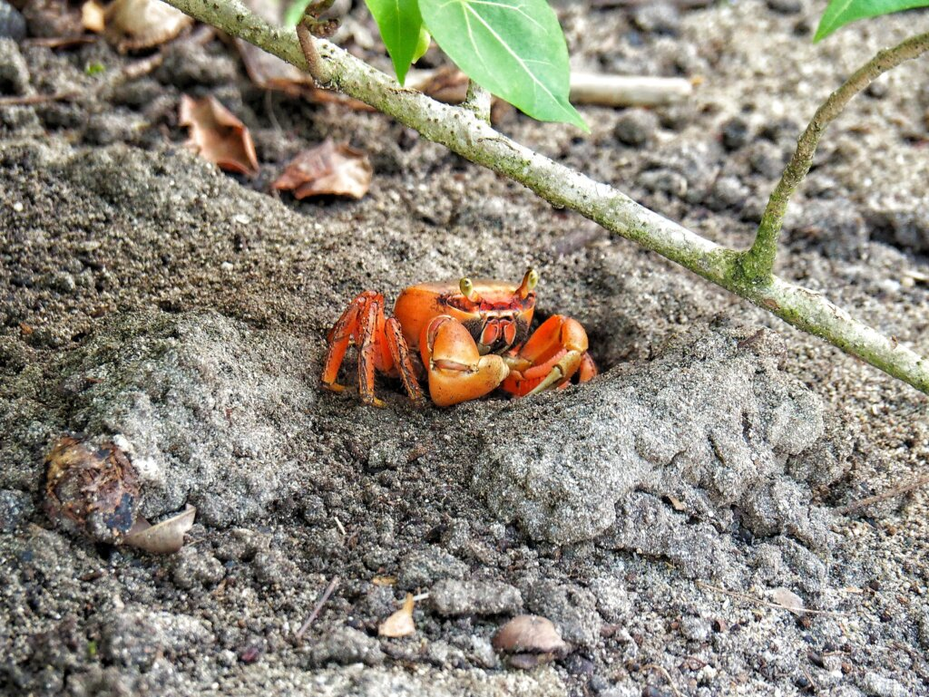 Crabs of Guadeloupe